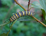 Monarch Butterfly Danaus plexippus Caterpillar 2000px.jpg
