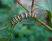Monarch caterpillars, shown feeding, vary in toxicity depending on their diet.