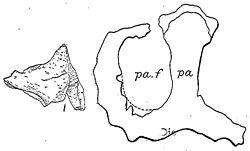 Monoclonius crassus.jpg