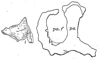 Monoclonius - Nasal horn base and lectotype frill of M. crassus