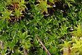 Moss - Tortula muralis (24580643556).jpg