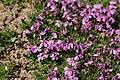 Moss Campion - Silene acaulis (29733274177).jpg