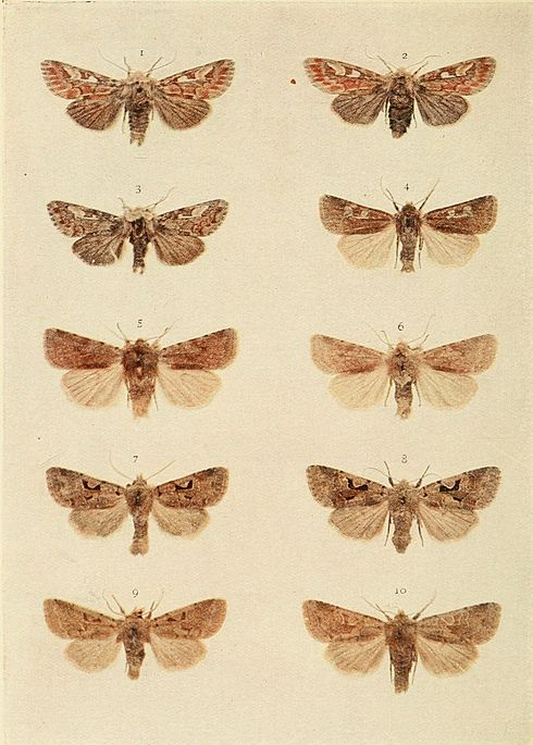 Moths of the British Isles Plate155.jpg