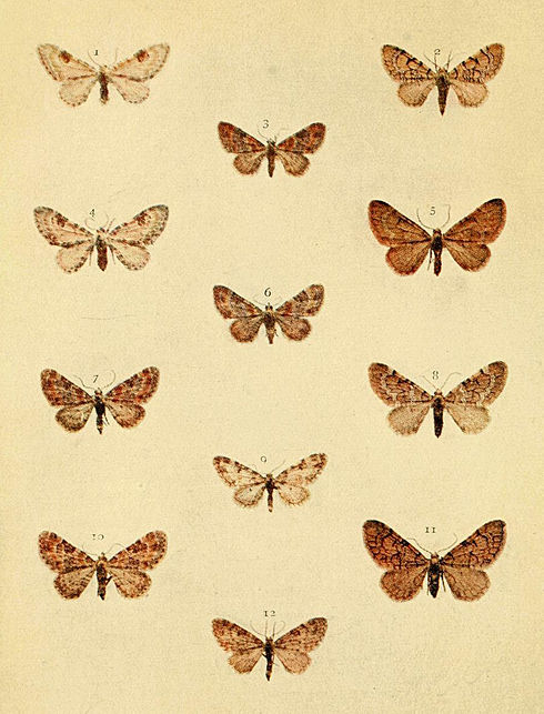 Moths of the British Isles Series2 Plate093.jpg
