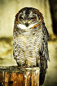 Mottled Wood Owl by DS.jpg