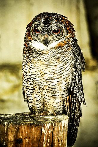 Mottled wood owl - Mottled wood owl