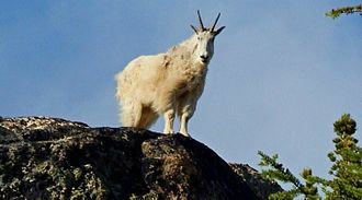 Mountain goat on Wallaby Peak in the North Cascades Mountain Goat in North Cascades.jpg