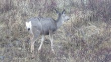 File:Mule Deer foraging at Okanagan Mountain Provincial Park.webm
