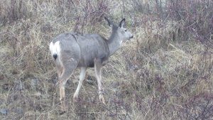 File:Mule Deer foraging at Okanagan Mountain Provincial Park.webm