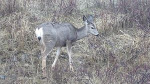 Файл:Mule Deer foraging at Okanagan Mountain Provincial Park.webm