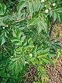 Murraya paniculata TN.jpg