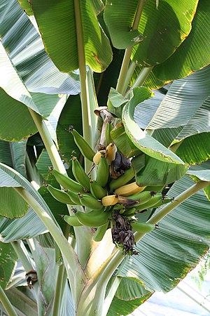 Musa (genus) - Fruit stalk of Musa sp.