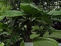 Musa acuminata2.jpg