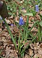 Muscari botryoides by Danny S. -1.JPG