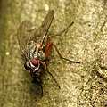 Muscoid Fly (31644289582).jpg