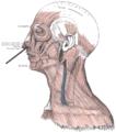 Musculusdilatatornarisposterior2.PNG
