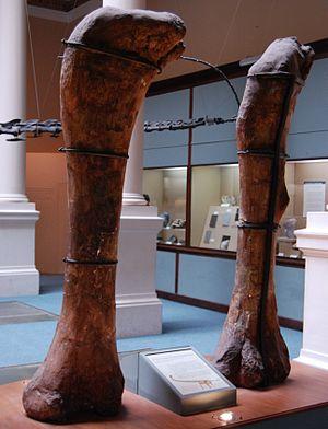 Antarctosaurus - Antarctosaurus giganteus femora in La Plata Museum