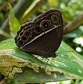 Mycalesis mineus - Dark-branded Bushbrown 01.JPG