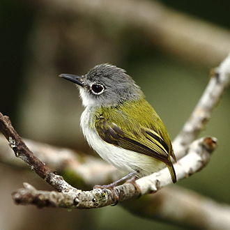 Tyrant flycatcher - The short-tailed pygmy tyrant (Myiornis ecaudatus) is the smallest species of passerine.
