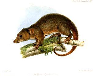 Wallaces dasyure species of mammal