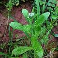 Myosotis macrosperma Kentucky.jpg