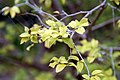 Myrciaria cauliflora 31zz.jpg