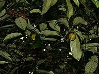 Myristica fragrans fruits W2 IMG 2461
