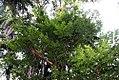 Myroxylum balsamum 1zz.jpg