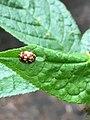 Myrrha octodecimguttata 73290115.jpg