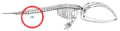 Mystice pelvis (whale).png