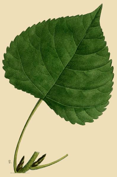 File:NAS-096y-Populus deltoides ssp monilifera.png