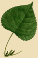 NAS-096y-Populus deltoides ssp monilifera.png