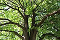 ND-7331-392 Kastanie Friedhof Bornheim-IMG 8208.jpg