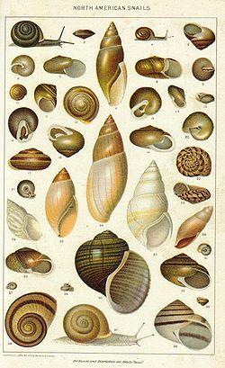 Divers escargots d'Amérique du Nord