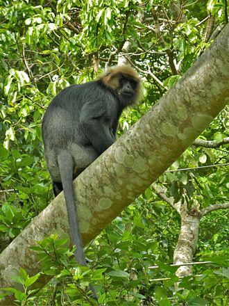 Lutung - Nilgiri langur in the Periyar National Park and Wildlife Sanctuary, India