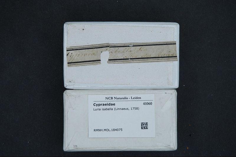 File:Naturalis Biodiversity Center - RMNH.MOL.184075 1 - Luria isabella (Linnaeus, 1758) - Cypraeidae - Mollusc shell.jpeg