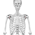 Neck of scapula04.png