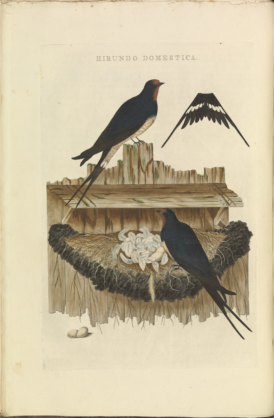 Nederlandsche vogelen (KB) - Hirundo rustica (030b)