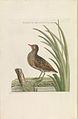 Nederlandsche vogelen (KB) - Porzana porzana (261pl).jpg