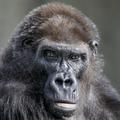 Nene-gorila.png