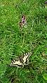 Neotinea ustulata 32.jpg