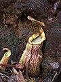 Nepenthes Mount Hamiguitan Range13.jpg