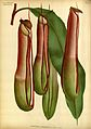 Nepenthes obrieniana - L'Illustration horticole (1890).jpg