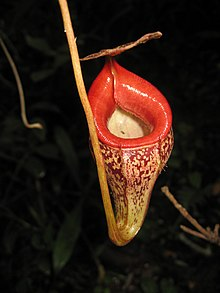 Nepenthes talangensis1.jpg