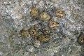 Nerita versicolor (four-toothed nerite snails) in a rocky shore intertidal zone (San Salvador Island, Bahamas) 5 (16013610481).jpg