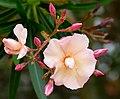 Nerium oleander peach.jpg