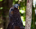 Nestor meridionalis -New Zealand -upper body-8a.jpg