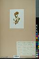 Neuchâtel Herbarium - Anthyllis cherleri - NEU000034017.jpg