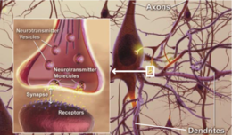 The vesicles, which contain neurotransmitters, are brought to the end of the microtubule inside the neuron's (brain cell) axon to the synapse, to send a signal to the dendrite of the next neuron.