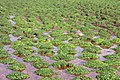 Newly established watercress - geograph.org.uk - 401948.jpg